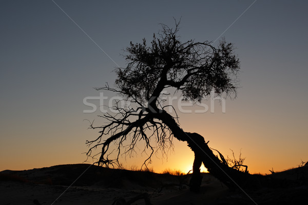 Desert sunset Stock photo © EcoPic