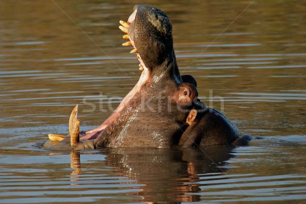 Hipopótamo naturaleza reserva Sudáfrica agua Foto stock © EcoPic