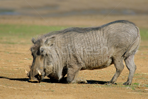 Male warthog Stock photo © EcoPic