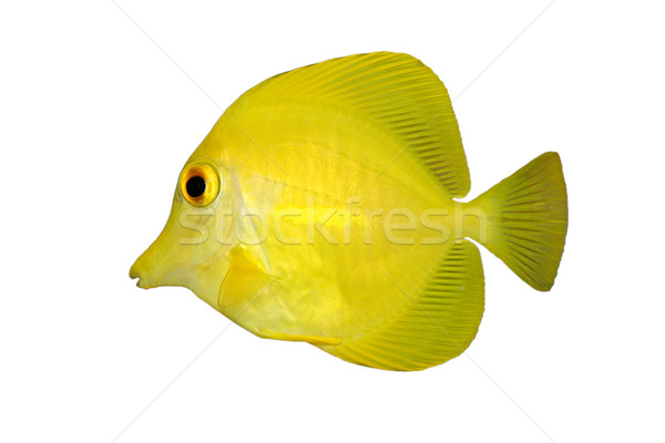 Yellow fish on white  Stock photo © EcoPic