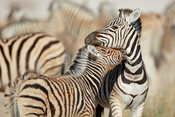 平野 シマウマ 公園 シマウマ インタラクション ナミビア ストックフォト © EcoPic