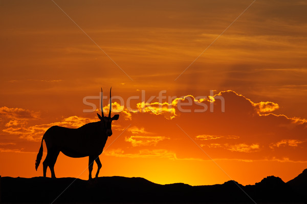 Gemsbok silhouette Stock photo © EcoPic