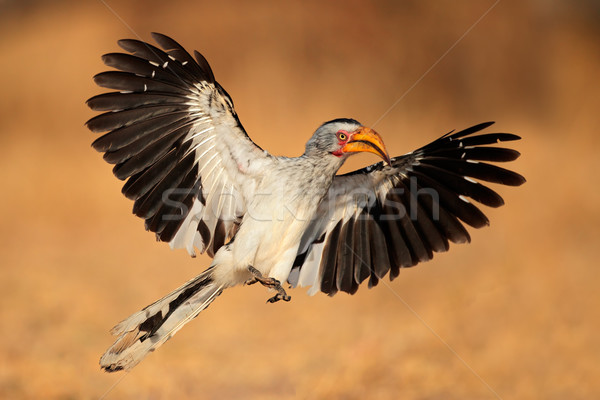 Yellow-billed hornbill landing Stock photo © EcoPic
