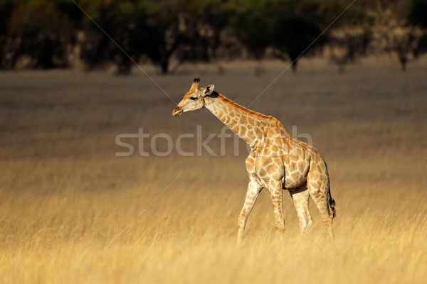 Giraffe in open grassland Stock photo © EcoPic