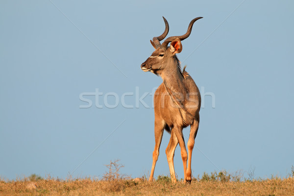 Erkek mavi gökyüzü Güney Afrika mavi Afrika hayvan Stok fotoğraf © EcoPic