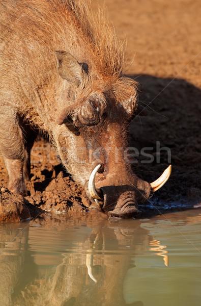 Warthog drinking water Stock photo © EcoPic
