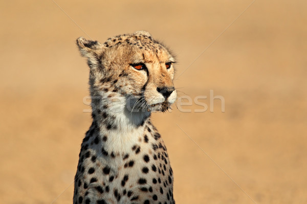 Cheetah portrait Stock photo © EcoPic