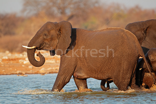 Elephant in water Stock photo © EcoPic