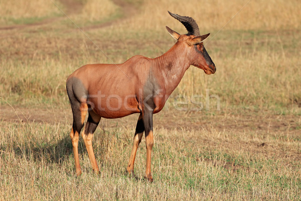 Topi antelope Stock photo © EcoPic