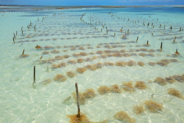 Seaweed farming Stock photo © EcoPic