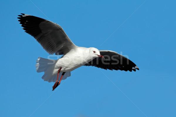 Hartlaubs gull in flight Stock photo © EcoPic