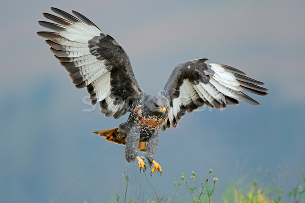 Jackal buzzard landing Stock photo © EcoPic
