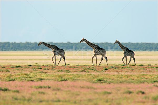Stock photo: Giraffe landscape