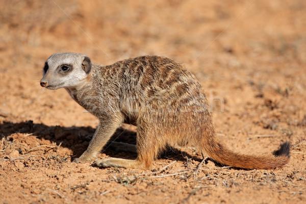 Foraging meerkat Stock photo © EcoPic