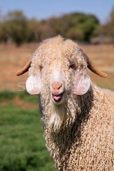 Angora goat Stock photo © EcoPic