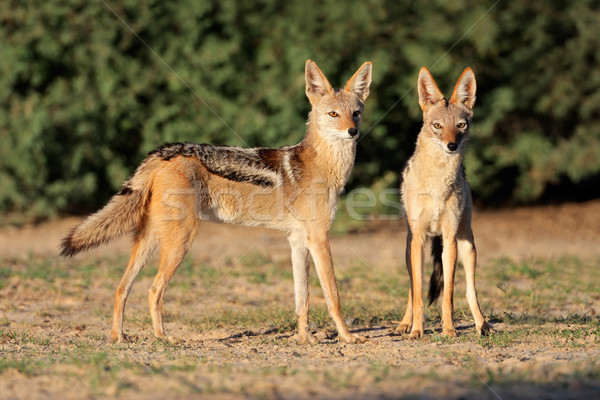 Black-backed Jackals Stock photo © EcoPic