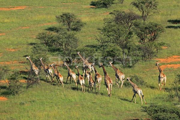 Giraffe herd Stock photo © EcoPic