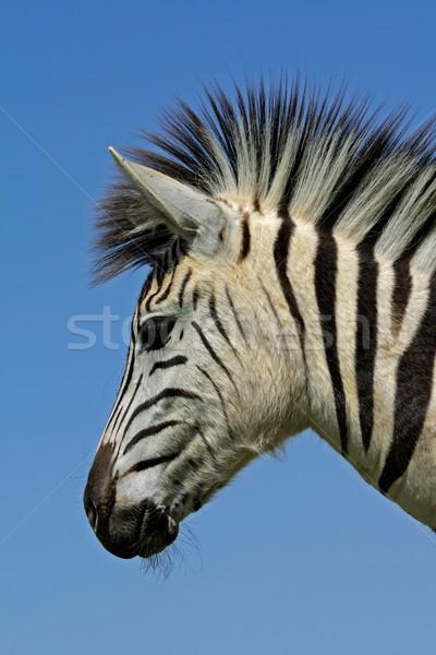 平野 シマウマ 肖像 公園 南アフリカ 目 ストックフォト © EcoPic