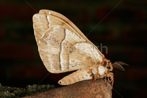 Furry moth Stock photo © EcoPic