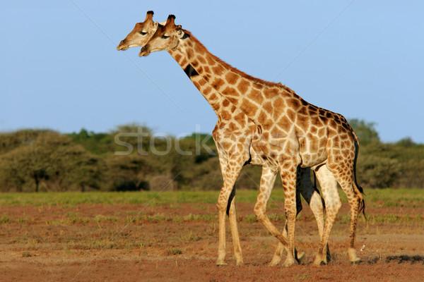Two giraffes Stock photo © EcoPic