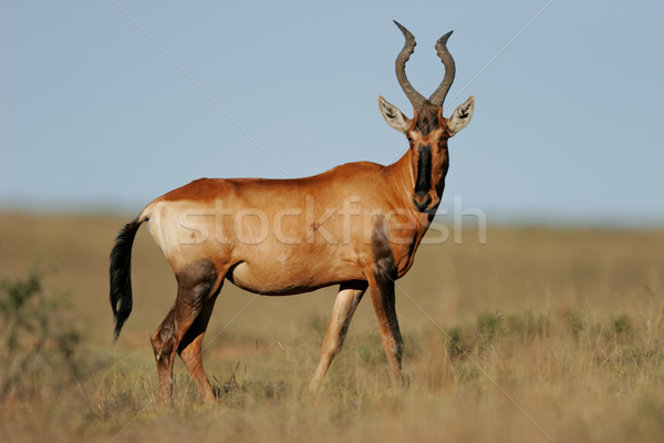 Red hartebeest Stock photo © EcoPic