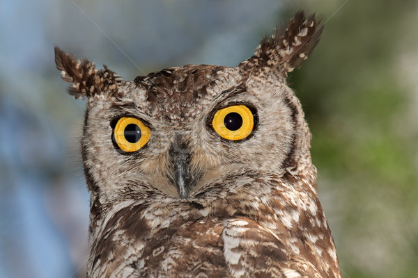 Owl portrait Stock photo © EcoPic