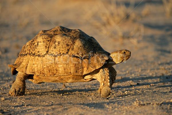 Hegy teknősbéka sivatag Dél-Afrika sétál séta Stock fotó © EcoPic