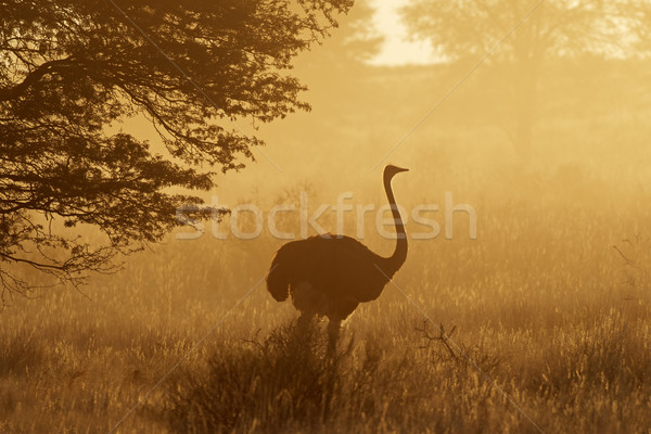 Ostrich in dust Stock photo © EcoPic