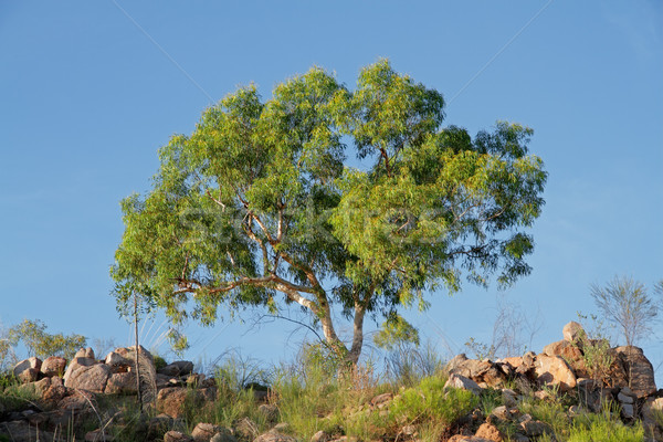 Eucalyptus tree Stock photo © EcoPic