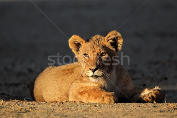African lion cub Stock photo © EcoPic