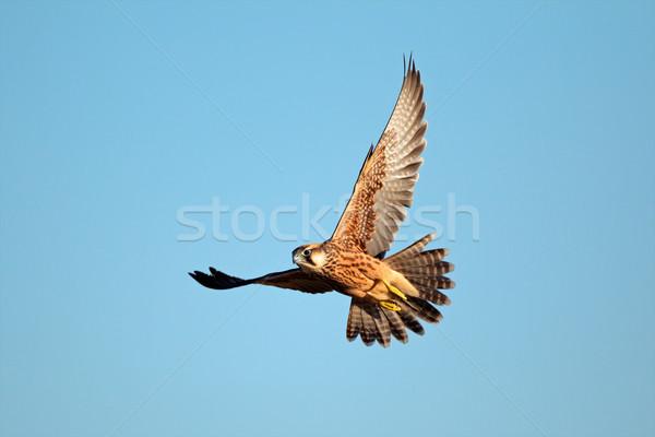 Falken Flug blauer Himmel Südafrika Himmel blau Stock foto © EcoPic