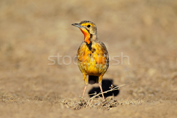 Cape longclaw Stock photo © EcoPic