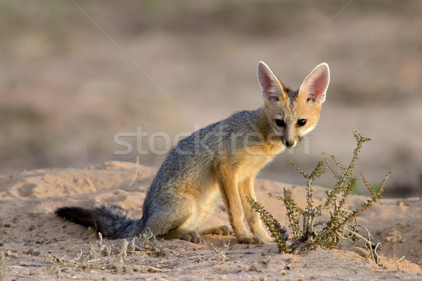 Cape fox Stock photo © EcoPic