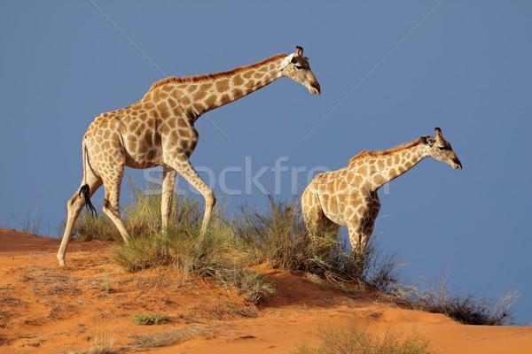 キリン 砂丘 徒歩 砂漠 南アフリカ 自然 ストックフォト © EcoPic
