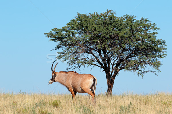 Stock photo: Roan antelope