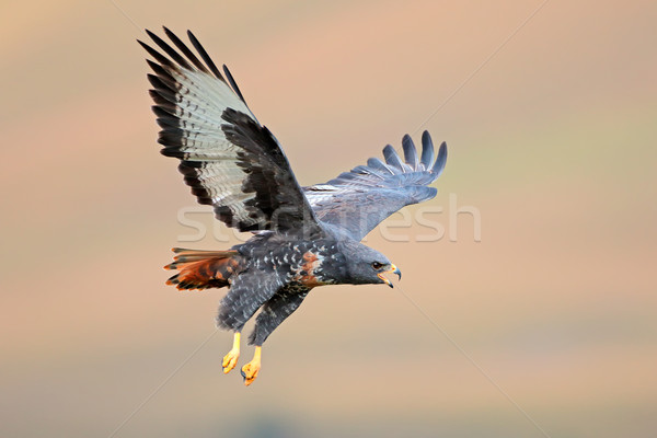 Jackal buzzard in flight Stock photo © EcoPic