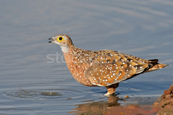 Spotted sandgrouse Stock photo © EcoPic