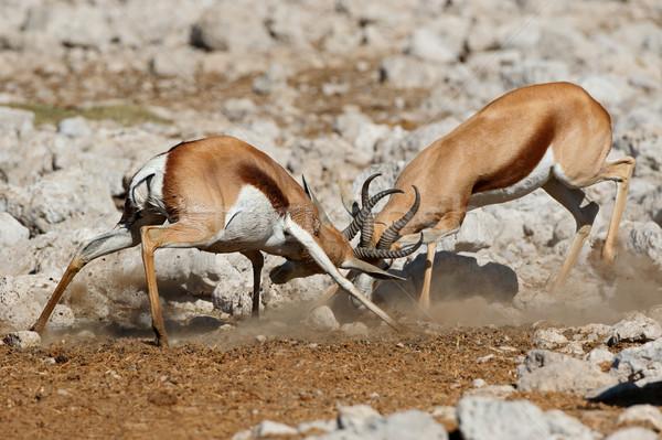 Fighting springbok antelopes Stock photo © EcoPic