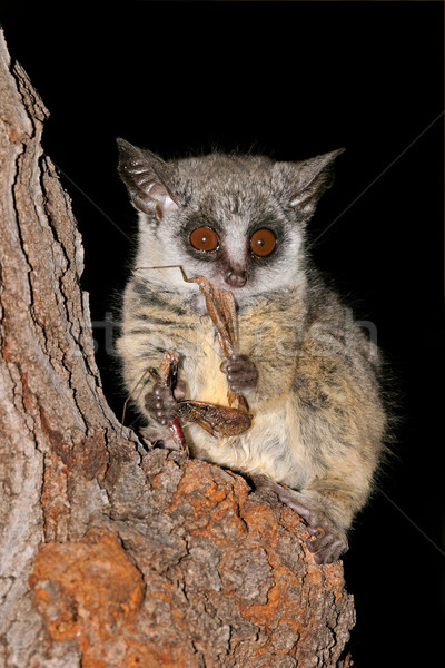 Lesser Bushbaby Stock photo © EcoPic