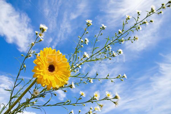 Verão tempo margarida beleza amarelo país Foto stock © Eireann