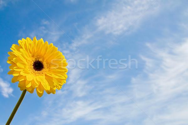 Verão margarida blue sky belo tempo amarelo Foto stock © Eireann