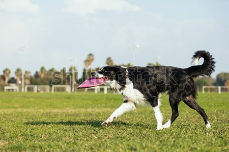 A Border Collie dog caught in the middle of jumping to fetch a rubber ball, on a sunny day at an urb Stock photo © eldadcarin