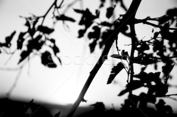 Silhouette of Branches and Leaves Stock photo © eldadcarin