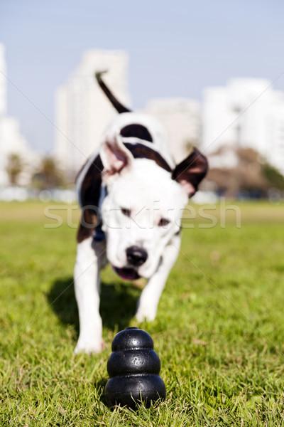 Pitbull Running to Dog Toy on Park Grass Stock photo © eldadcarin
