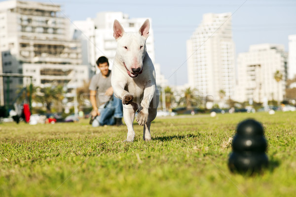 Bull Terrier Running for Chew Toy in Park Stock photo © eldadcarin