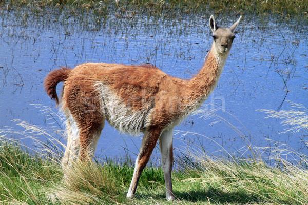 Lama meer volwassen permanente camera shot Stockfoto © eldadcarin