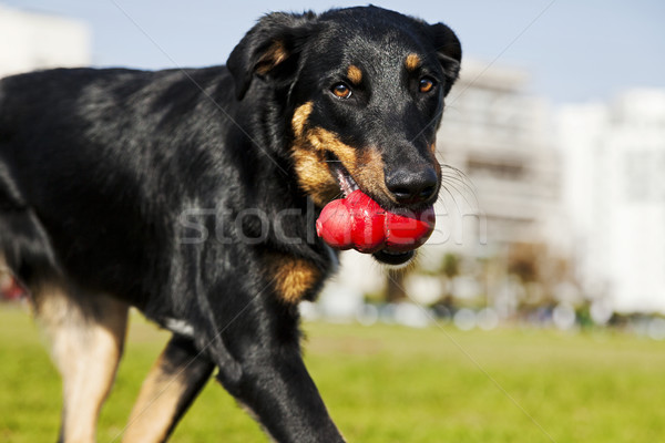 Beauceron / Australian Shepherd Dog with Toy at the Park Stock photo © eldadcarin