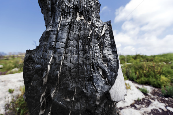 Burnt Tree Trunk in the Wild Stock photo © eldadcarin