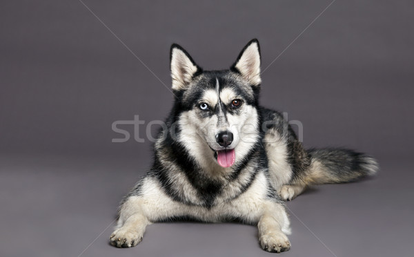Husky studio portrait Homme chien mixte Photo stock © eldadcarin