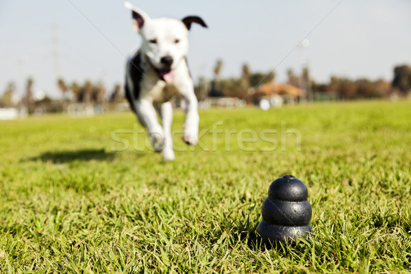 Esecuzione cane giocattolo parco erba in bianco e nero Foto d'archivio © eldadcarin